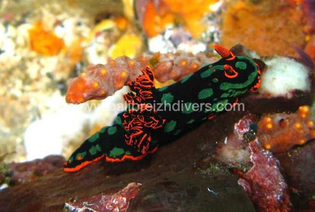 Nudibranch Tulamben