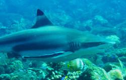 Black tip shark Bali -Requin à pointe noire
