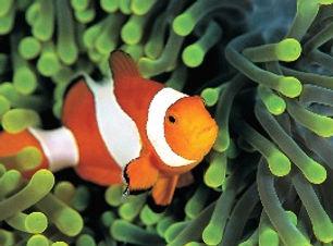 poisson clown plongée bali