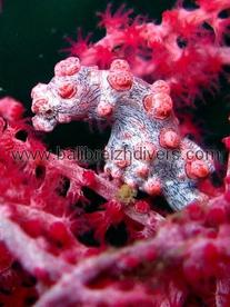 pygmy sea horse Bali ,Hippocampe pygmé