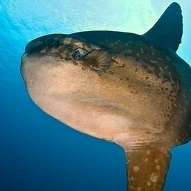 Sun fish, Mola-mola Poisson lune