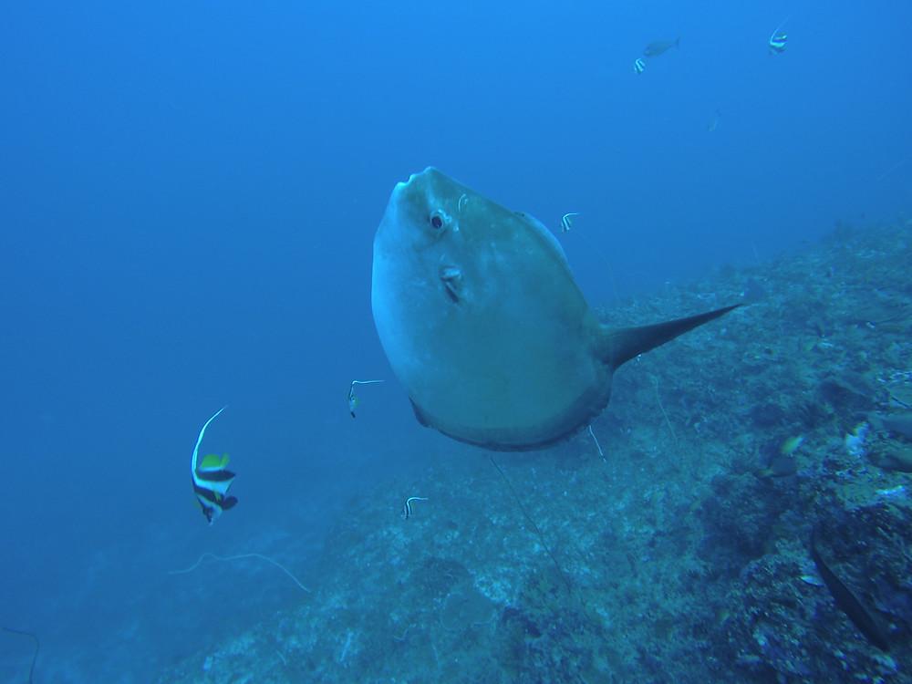 Sunfish in Crystal Bay