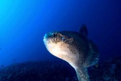 Mola mola Bali, Poisson lune
