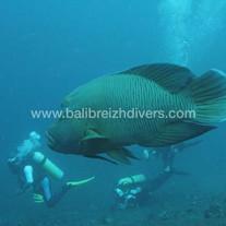 Napoleon fish Bali - Napoléon