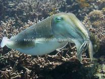 Cuttle fish / Seiche Plongée Jetty