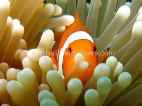 Clown Fish , Poisson clown Plongée