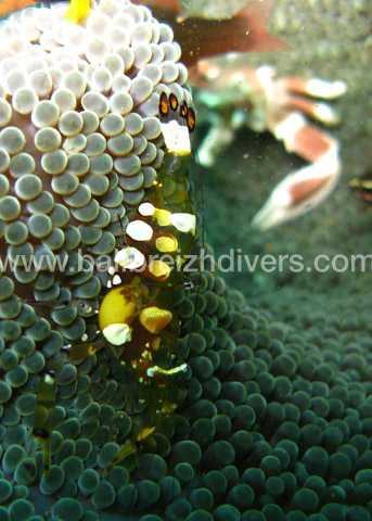 shrimp Bali