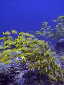 shool of fish Bali , Banc de poisson