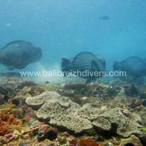 Parrot fish tulamben Bali - Poissons perroquets