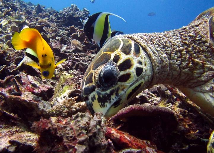 Turtle Bali, Tortue de mer