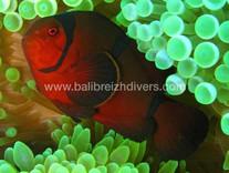 Clown fish Bali