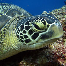Tortue Amed