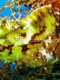 Leaf fish Bali Poisson feuille