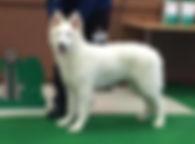 Bery, White Rewyr, Hvit Gjeterhund