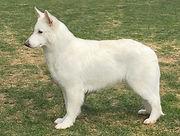 Lisel, White Rewyr, Hvit Gjeterhund