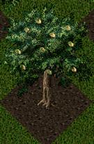 Pomona Pistachio Tree.png