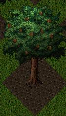 Pomona Pecan Tree.png