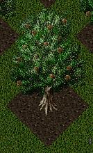 Pomona Macadamia Tree.png