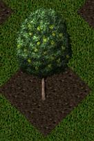 Pomona Pear Tree.png