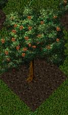 Pomona Walnut Tree.png