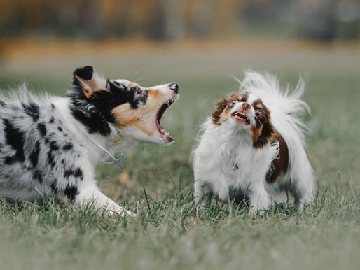 Dog Behaviour - Reactivity - Predator Motor Patterns (PMP), Predatory Drift & Trigger Stacking