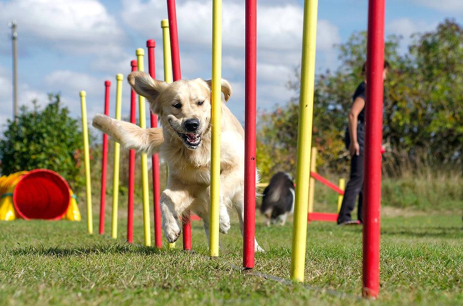 Dog agility slalom, sports competitions
