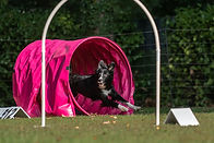 Dog at hoopers agility parcours.jpg