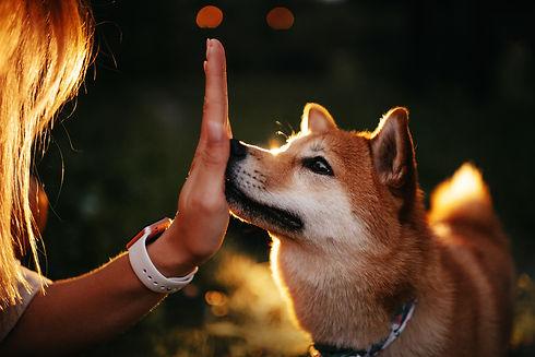 shiba inu dog touching palm of hand with