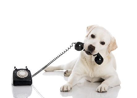 Portrait of a labrador retriever holding a telefone with mouth.jpg