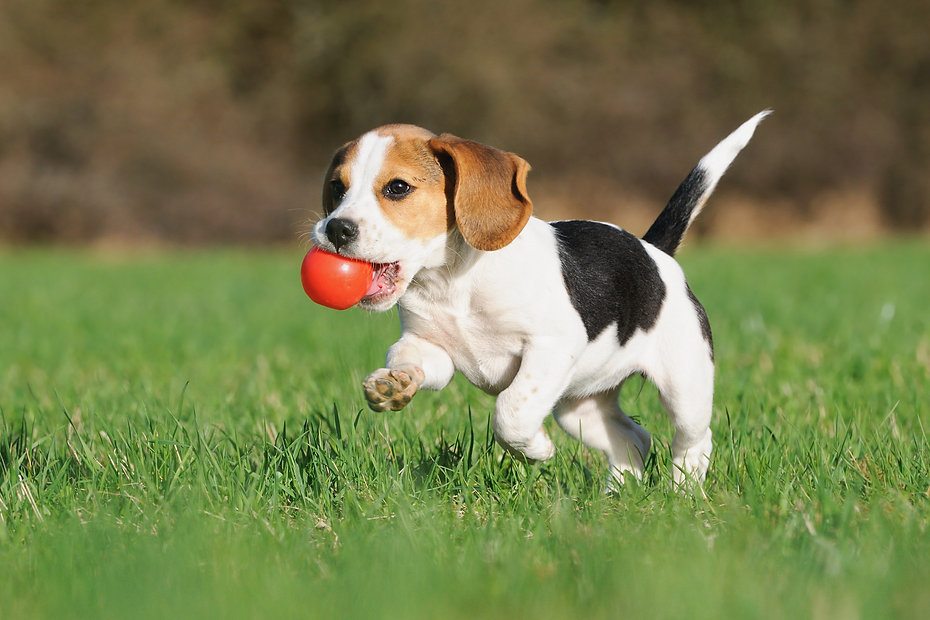 cute Beagle puppy 3 months running happy