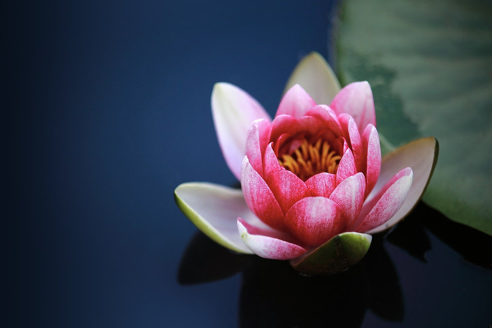 water-lilies-1825477_1920.jpeg