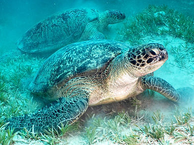 Two large turtles in the Red Sea
