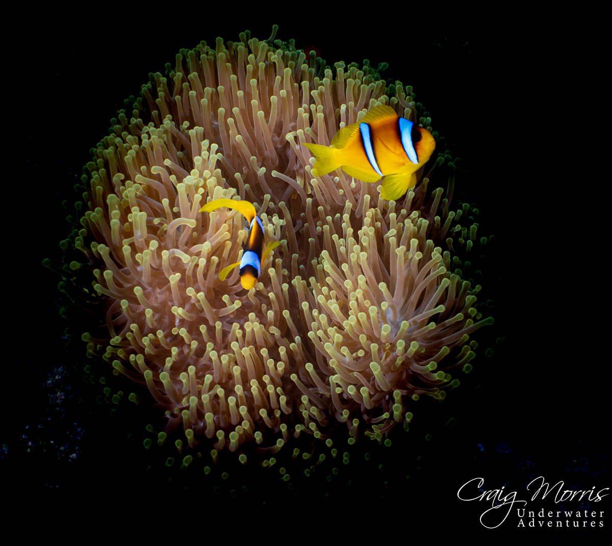 Clown fish at home on anemone