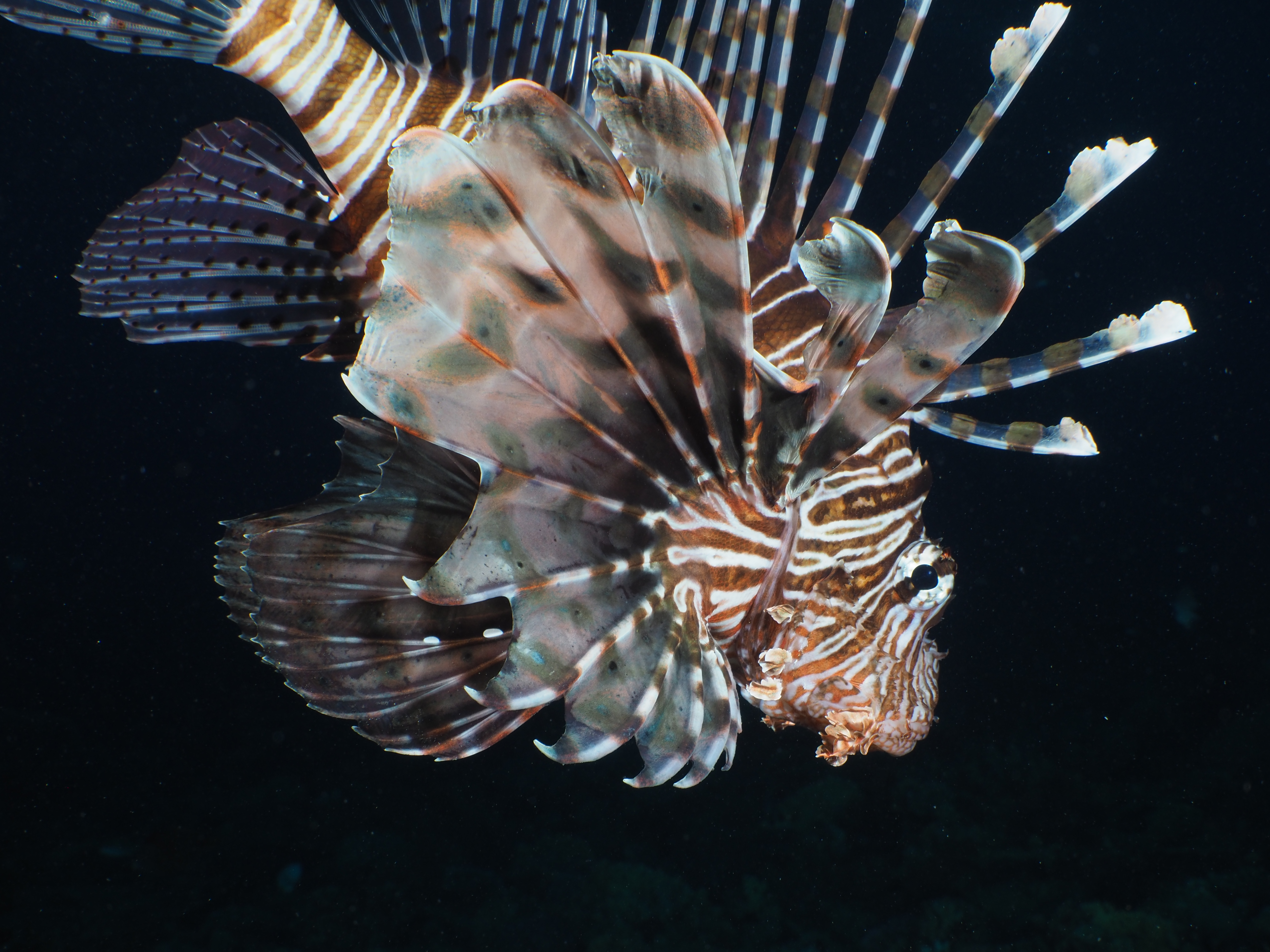 Lion Fish in Florida