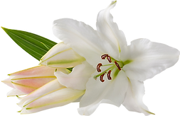 162-1625810_white-lily-.png