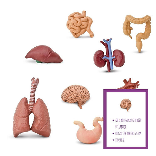 Miniature Organs + Fast Facts Cards