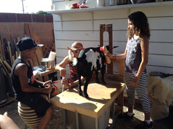 Milking the goat