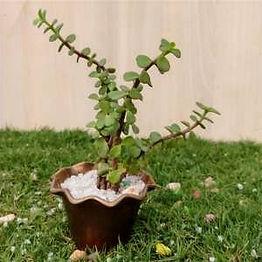 Getgreen_Plant_ Jade- Good Luck Plant_ed