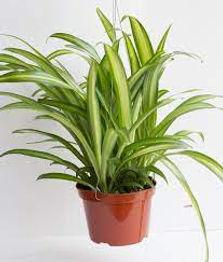 Getgreen_Plant_Spider Chlorophytum Plant.jpeg