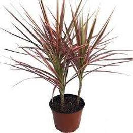 Getgreen_Plant_Dracaena Colorama Plant.jpeg