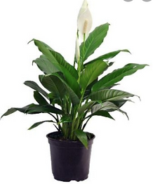 getgreen_plants_peacelilly.png