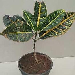 Getgreen_Plant_Croton Plant.jpeg