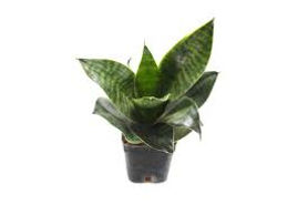 Getgreen_plant_Sansevieria - Hahnii Plant.jpeg