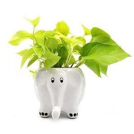 Getgreen_Plant_Money Plant - Golden.jpeg