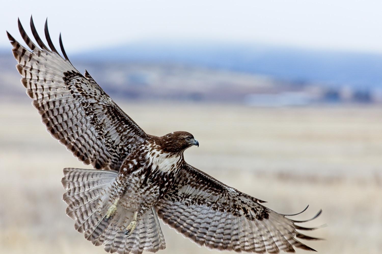 Red-Tailed-Hawk-Lower-Klamath.jpg