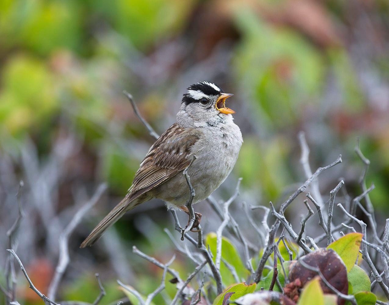 White-Crowned-Sparrow.jpg