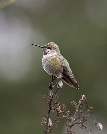Annas-Hummingbird.jpg
