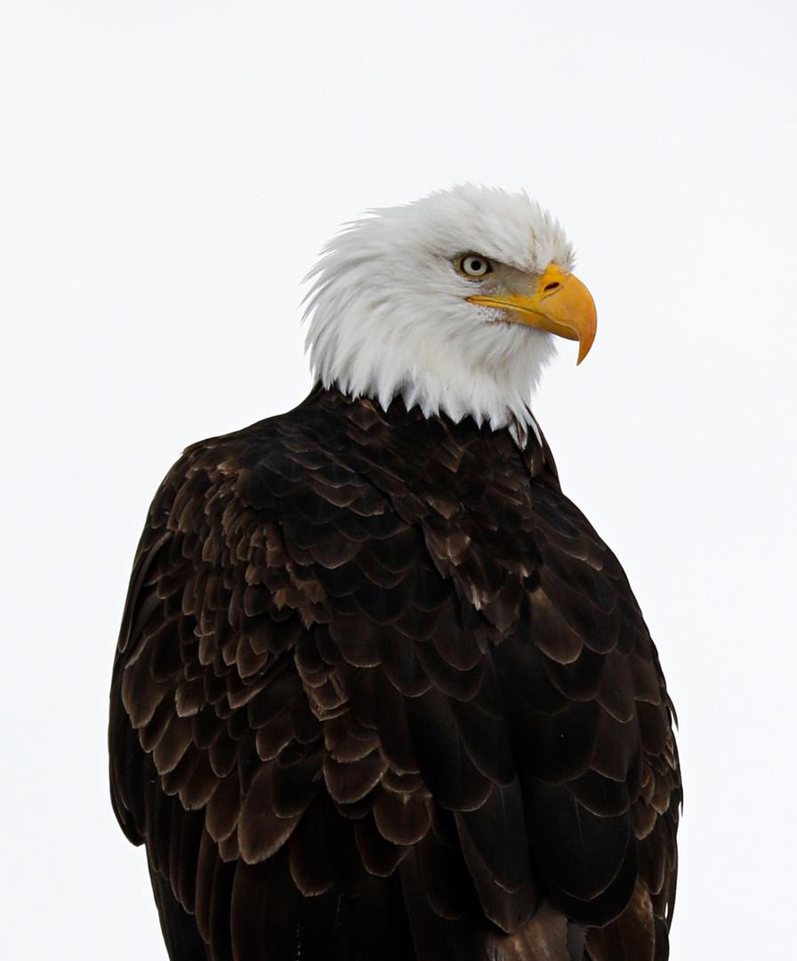 Bald-Eagle-Tule-Lake.jpg