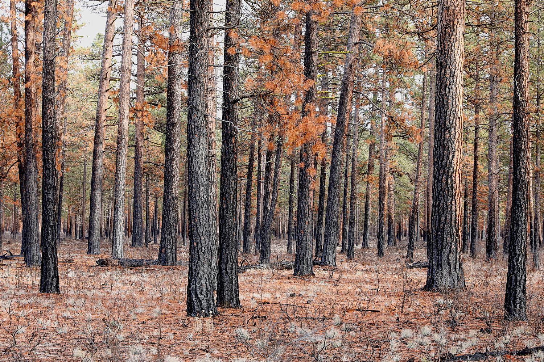 Burned-Trees.jpg