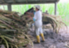 upper amazon, pastaza, amazon, ecuador, sugar, cane
